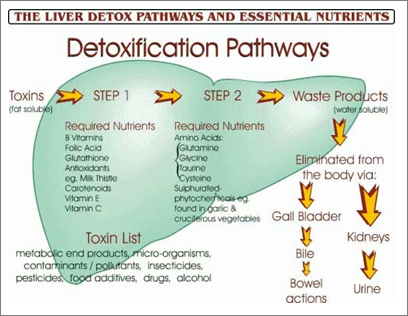 liver pathway